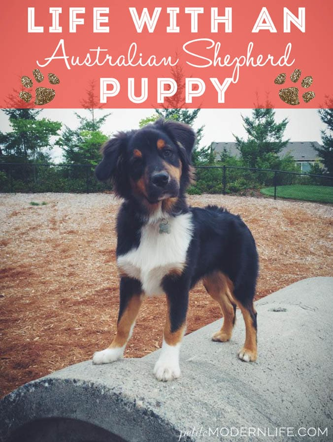 Life with and Australian Shepherd Puppy