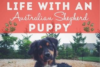 Life with an Australian Shepherd Puppy